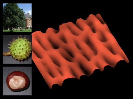 Surface of a Chestnut. DC mode in air. Taken by Thomas Gutsmann, Research Center Borstel, Germany